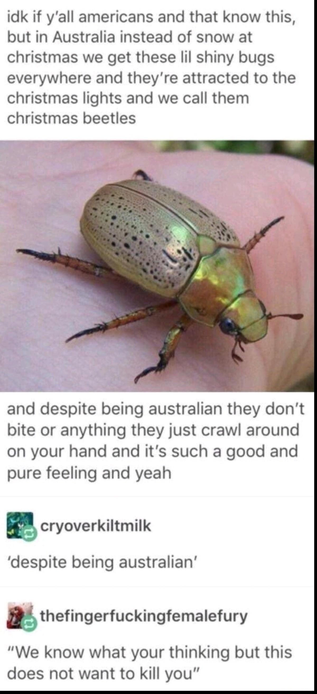 Australian Christmas Beetle.Christmas Beetle