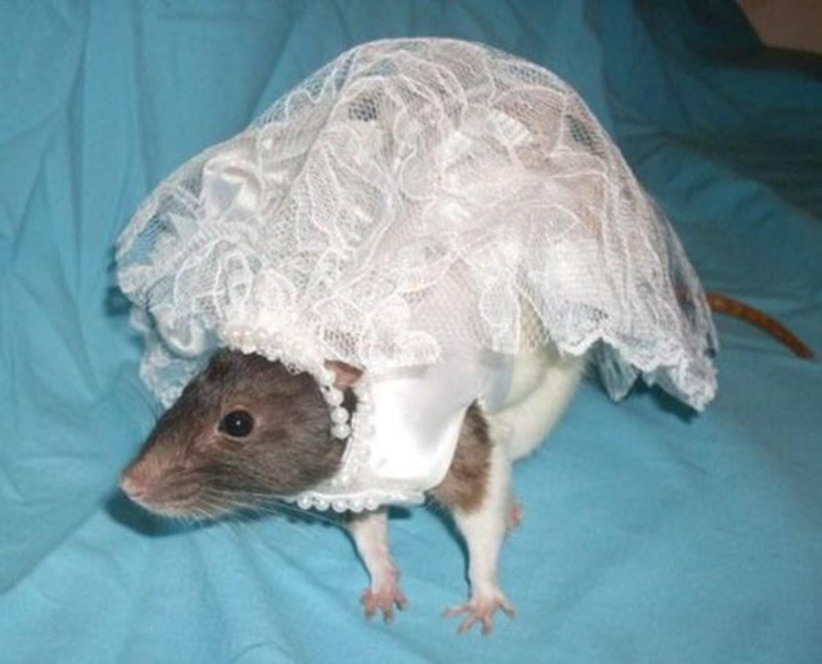 множество весёлых крысы в прикольных костюмах фото дни