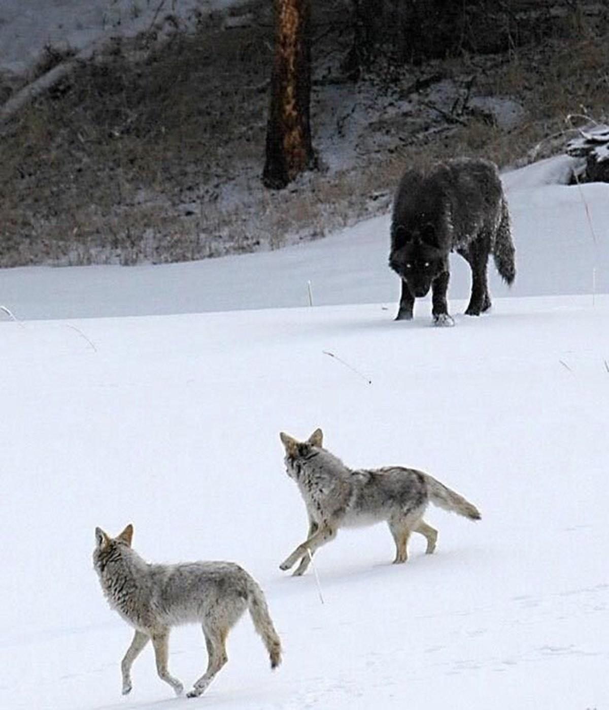 Wolf Coyote Size Comparison